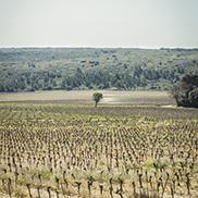 Vignes fertilisées par Frayssinet