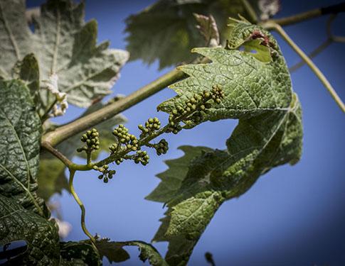 Contre les problématiques vigne, les solutions Frayssinet