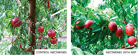 Test results on the improvement of the quality of nectarines by Frayssinet