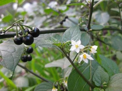 Morelle noire